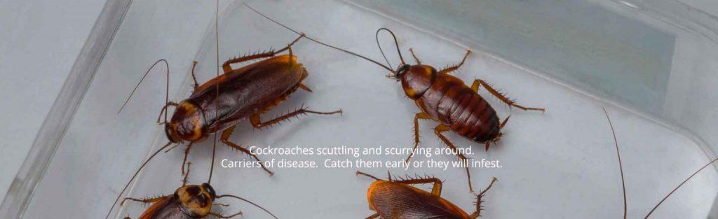 Cockroach Pest Control Maidstone Kent